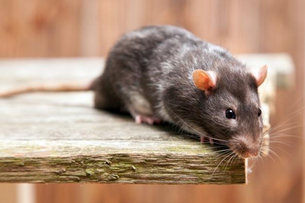 5 Cara Mengusir Tikus dari Plafon Rumah